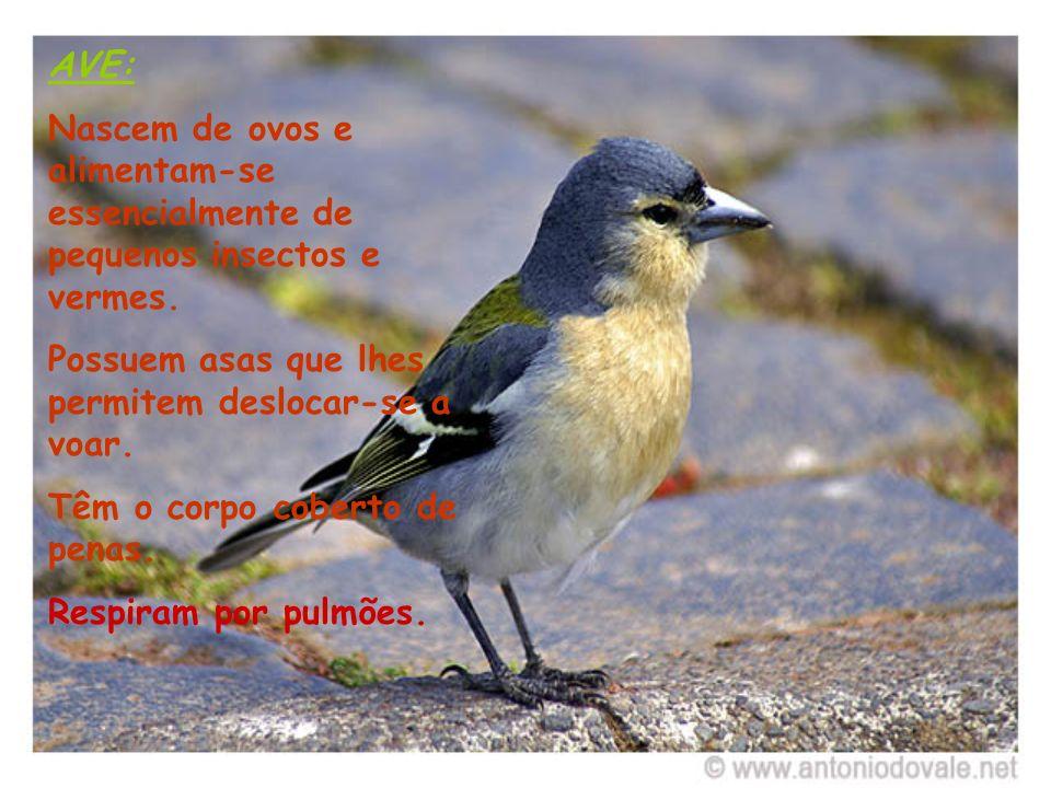 AVE: Nascem de ovos e alimentam-se essencialmente de pequenos insectos e vermes. Possuem asas que lhes permitem deslocar-se a voar.
