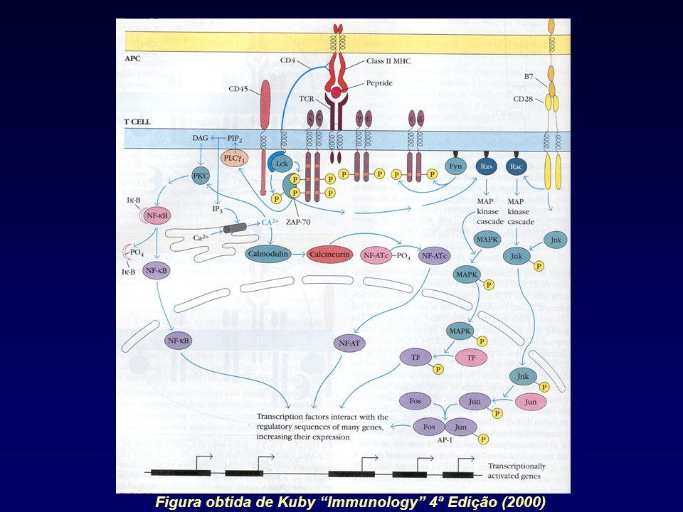 Figura obtida de Kuby Immunology 4ª Edição (2000)