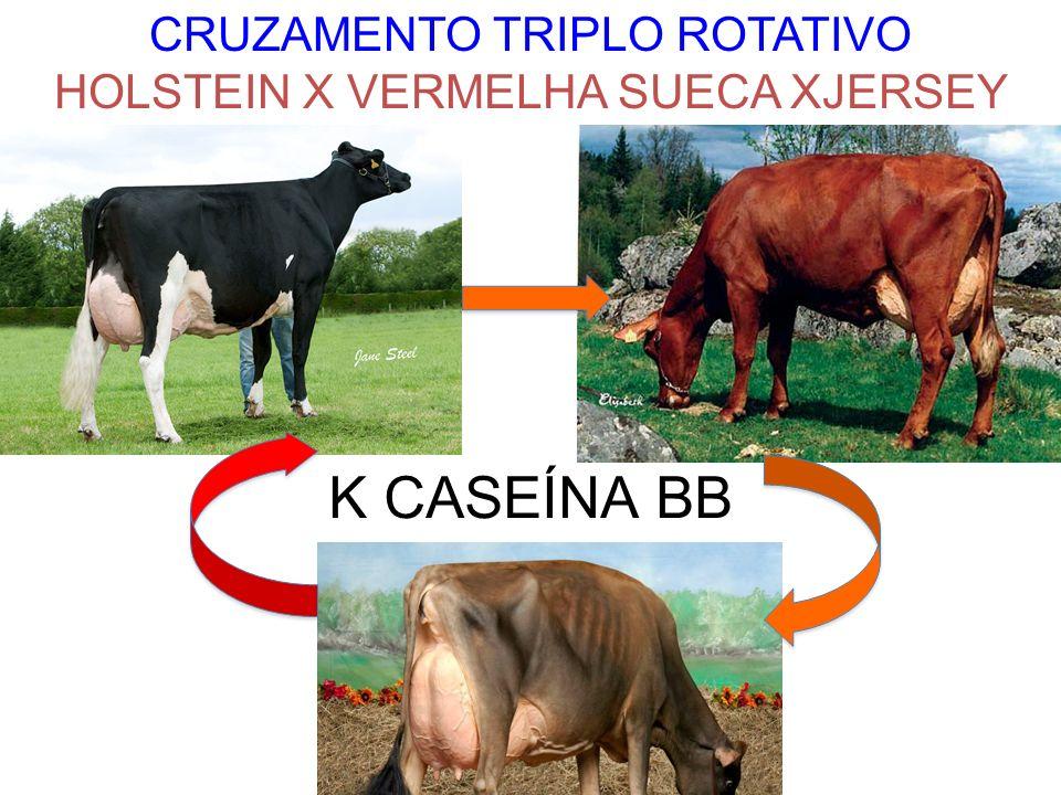 K CASEÍNA BB CRUZAMENTO TRIPLO ROTATIVO