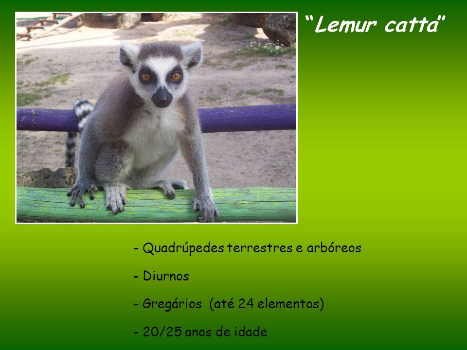 Lemur catta Quadrúpedes terrestres e arbóreos - Diurnos