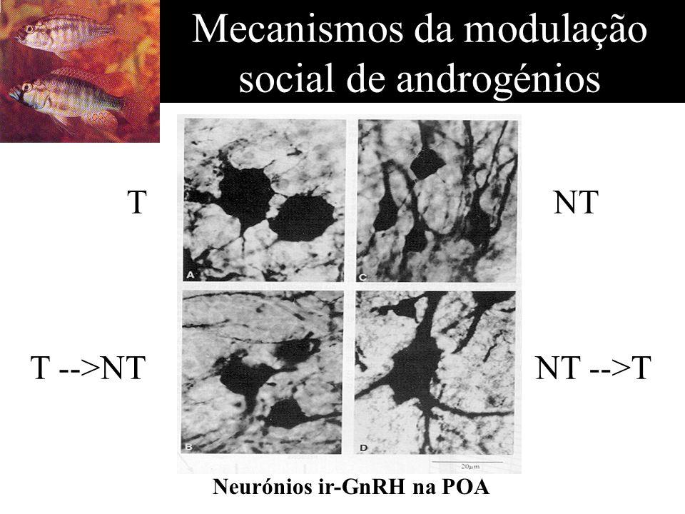 Mecanismos da modulação social de androgénios