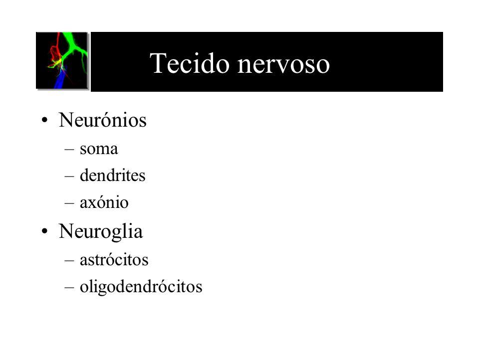 Tecido nervoso Neurónios Neuroglia soma dendrites axónio astrócitos