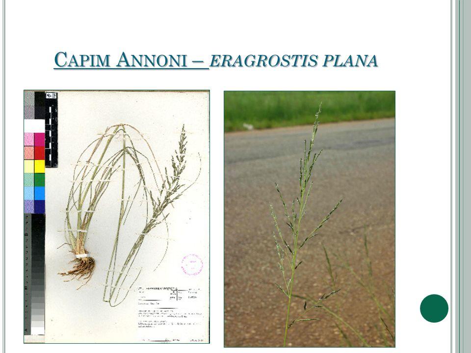 Capim Annoni – eragrostis plana