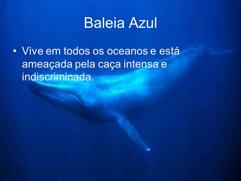Baleia Azul Vive em todos os oceanos e está ameaçada pela caça intensa e indiscriminada.
