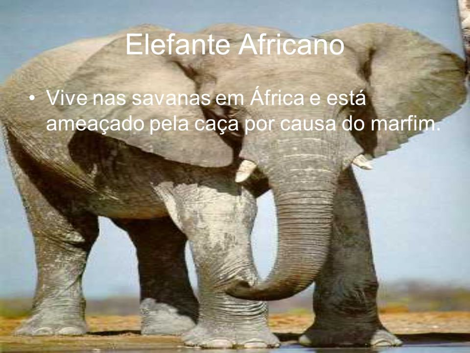 Elefante Africano Vive nas savanas em África e está ameaçado pela caça por causa do marfim.