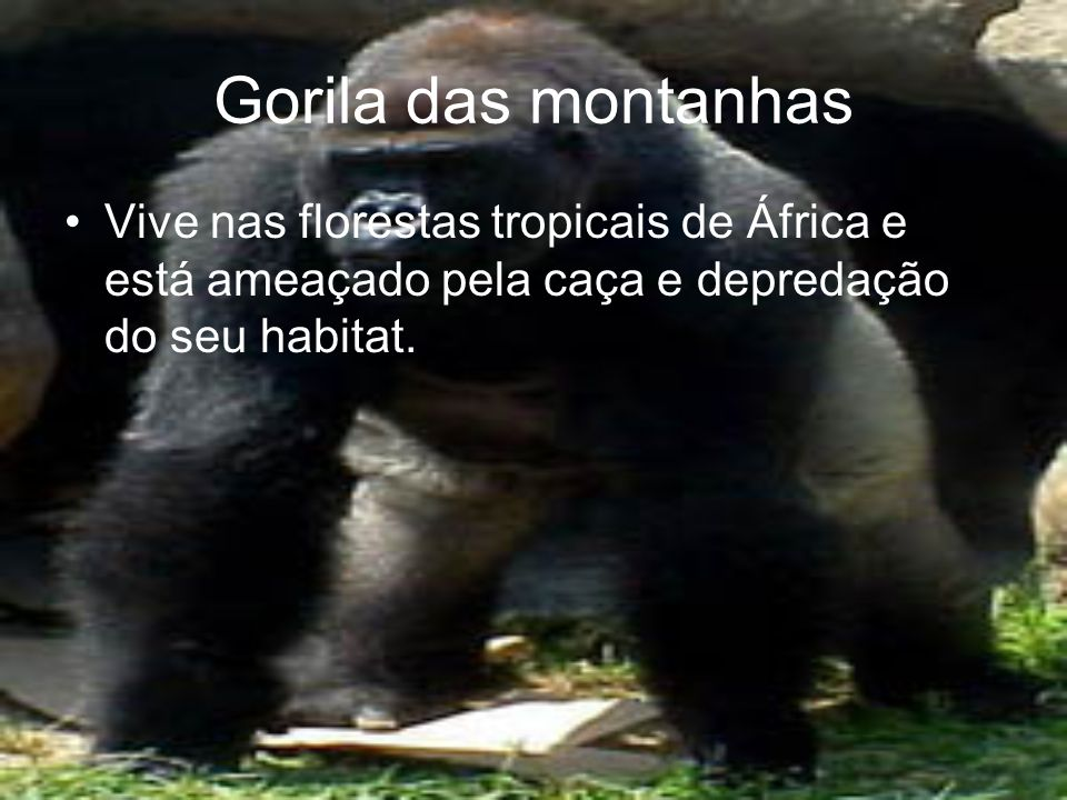 Gorila das montanhas Vive nas florestas tropicais de África e está ameaçado pela caça e depredação do seu habitat.