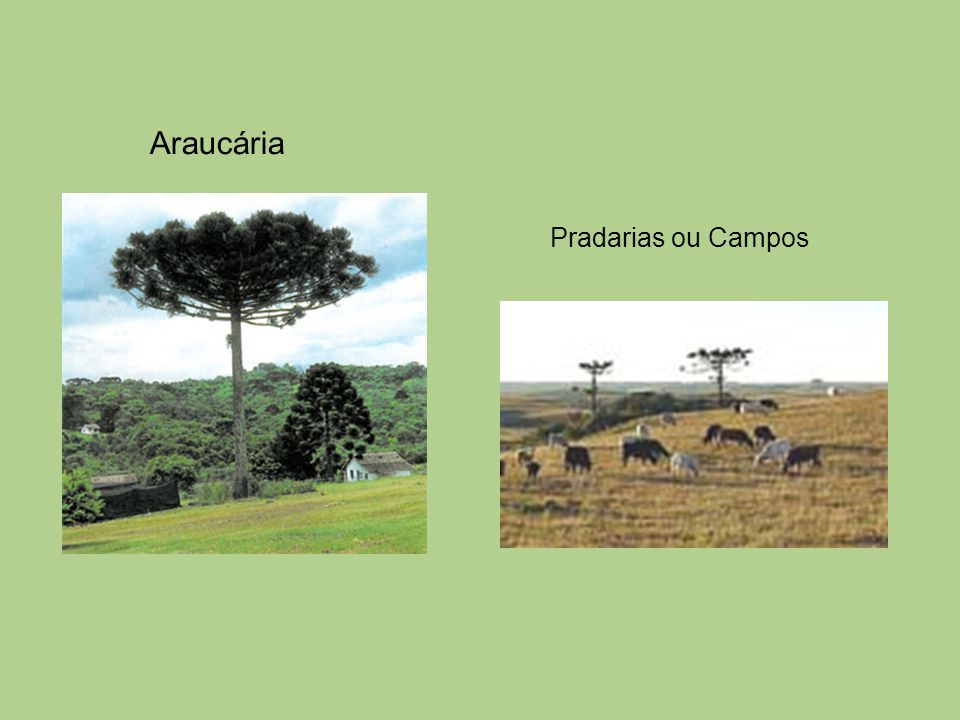 Araucária Pradarias ou Campos