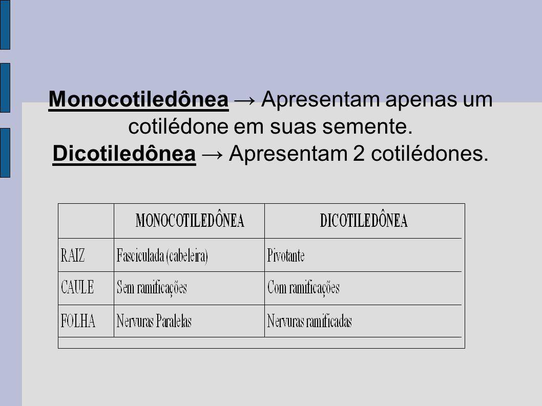 Monocotiledônea → Apresentam apenas um cotilédone em suas semente.