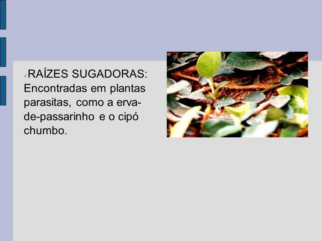RAÍZES SUGADORAS: Encontradas em plantas parasitas, como a erva-de-passarinho e o cipó chumbo.