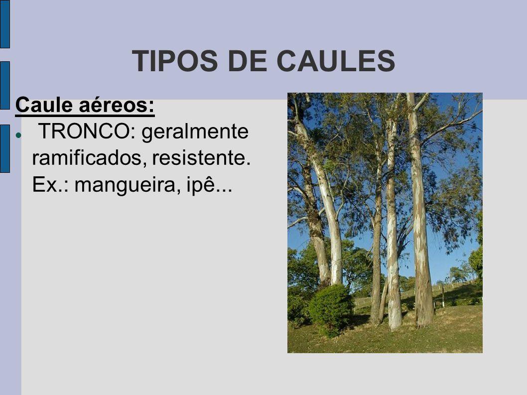 TIPOS DE CAULES Caule aéreos: