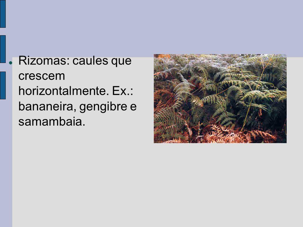 Rizomas: caules que crescem horizontalmente. Ex