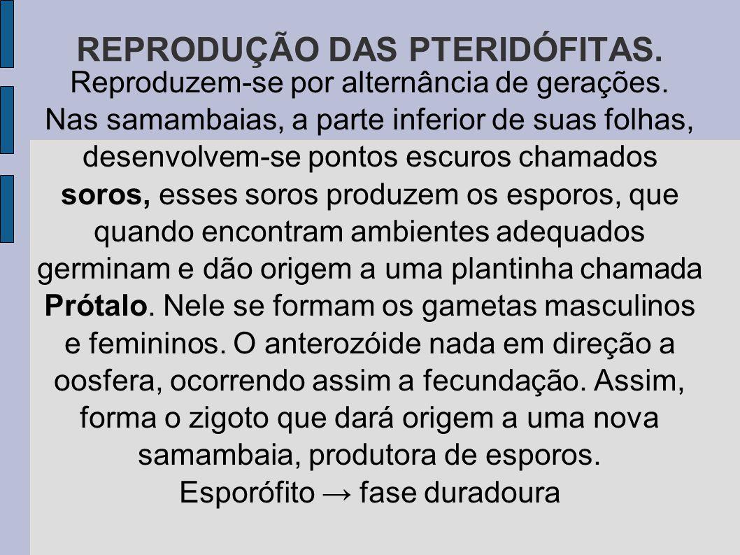 REPRODUÇÃO DAS PTERIDÓFITAS.