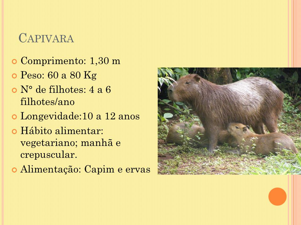 Capivara Comprimento: 1,30 m Peso: 60 a 80 Kg