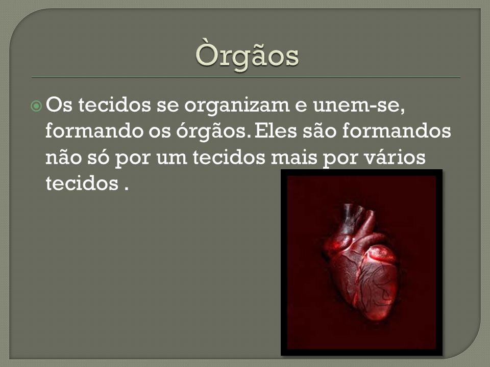Òrgãos Os tecidos se organizam e unem-se, formando os órgãos.