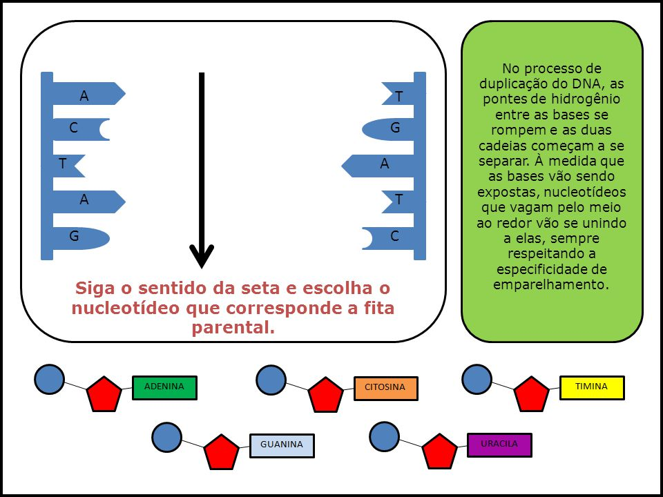 No processo de duplicação do DNA, as pontes de hidrogênio entre as bases se rompem e as duas cadeias começam a se separar. À medida que as bases vão sendo expostas, nucleotídeos que vagam pelo meio ao redor vão se unindo a elas, sempre respeitando a especificidade de emparelhamento.