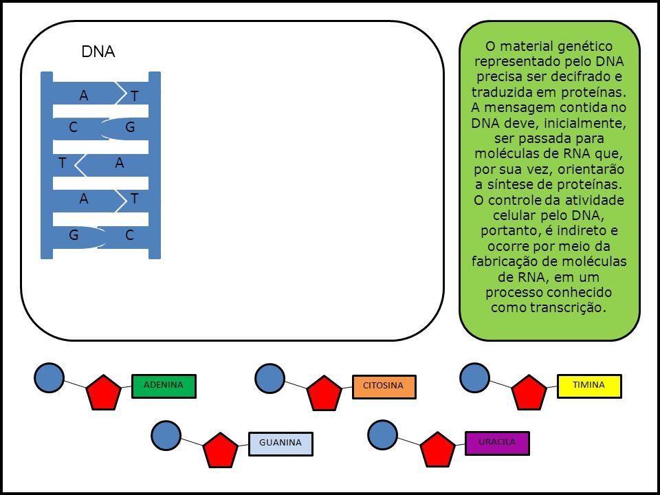 O material genético representado pelo DNA precisa ser decifrado e traduzida em proteínas. A mensagem contida no DNA deve, inicialmente, ser passada para moléculas de RNA que, por sua vez, orientarão a síntese de proteínas. O controle da atividade celular pelo DNA, portanto, é indireto e ocorre por meio da fabricação de moléculas de RNA, em um processo conhecido como transcrição.