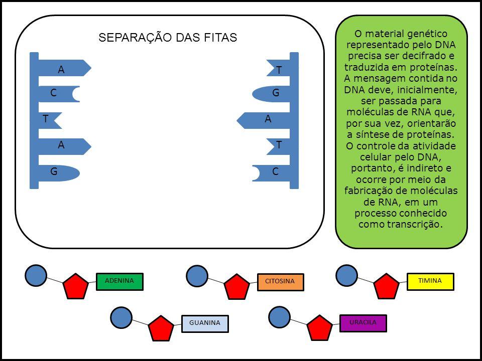 SEPARAÇÃO DAS FITAS A T C G T A A T G C