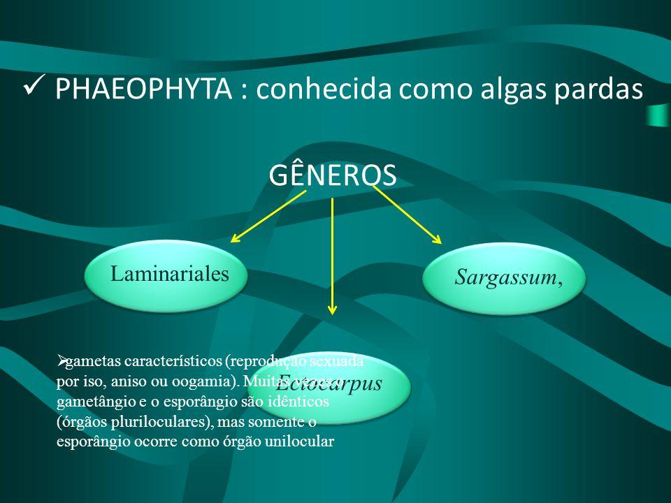 PHAEOPHYTA : conhecida como algas pardas