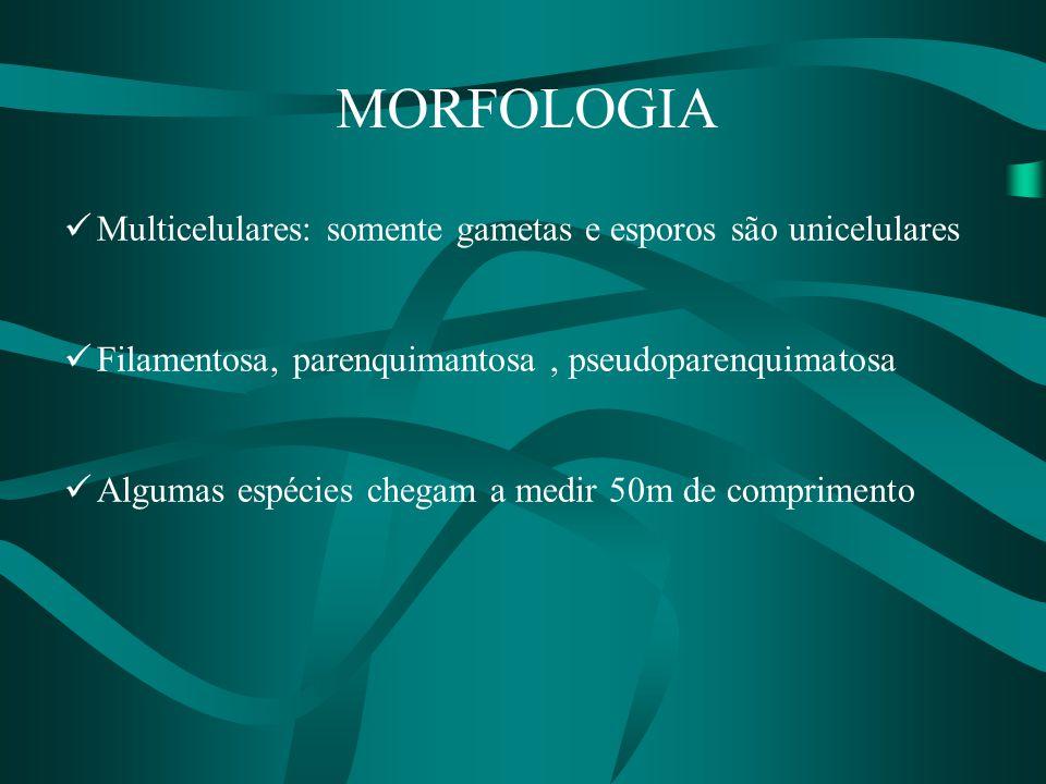 MORFOLOGIA Multicelulares: somente gametas e esporos são unicelulares