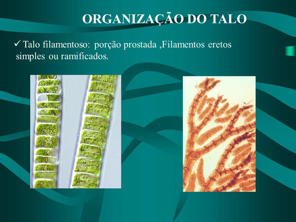 ORGANIZAÇÃO DO TALO Talo filamentoso: porção prostada ,Filamentos eretos simples ou ramificados.