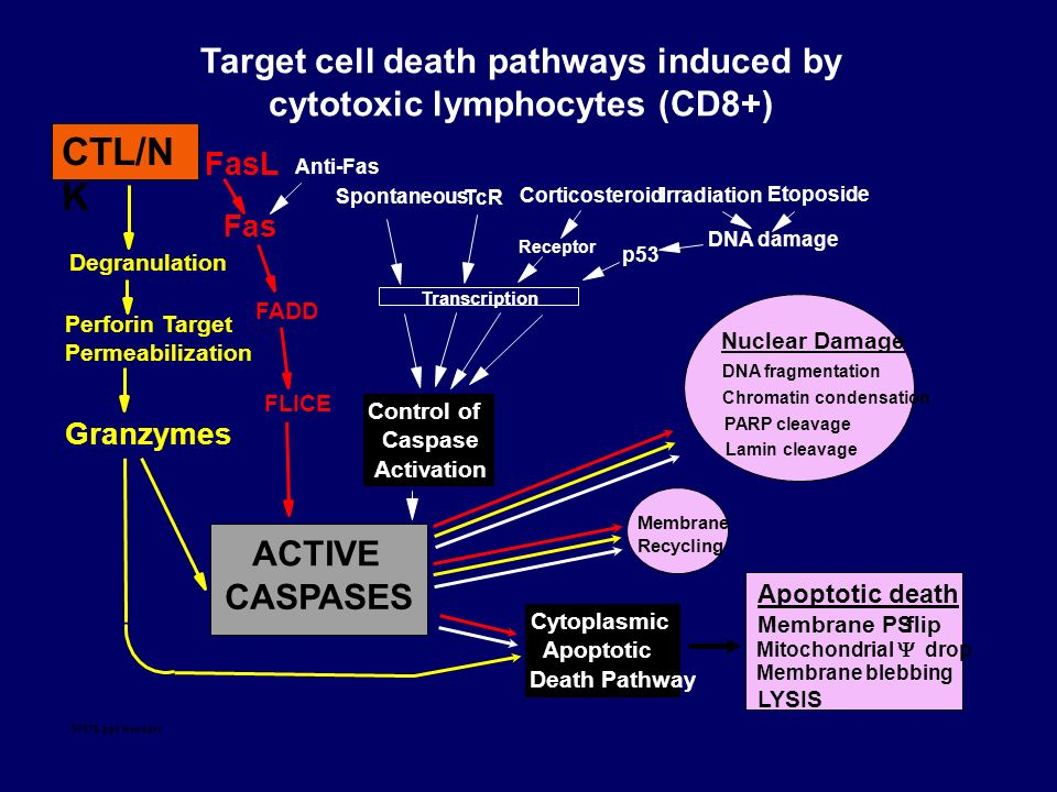 Target cell death pathways induced by cytotoxic lymphocytes (CD8+)
