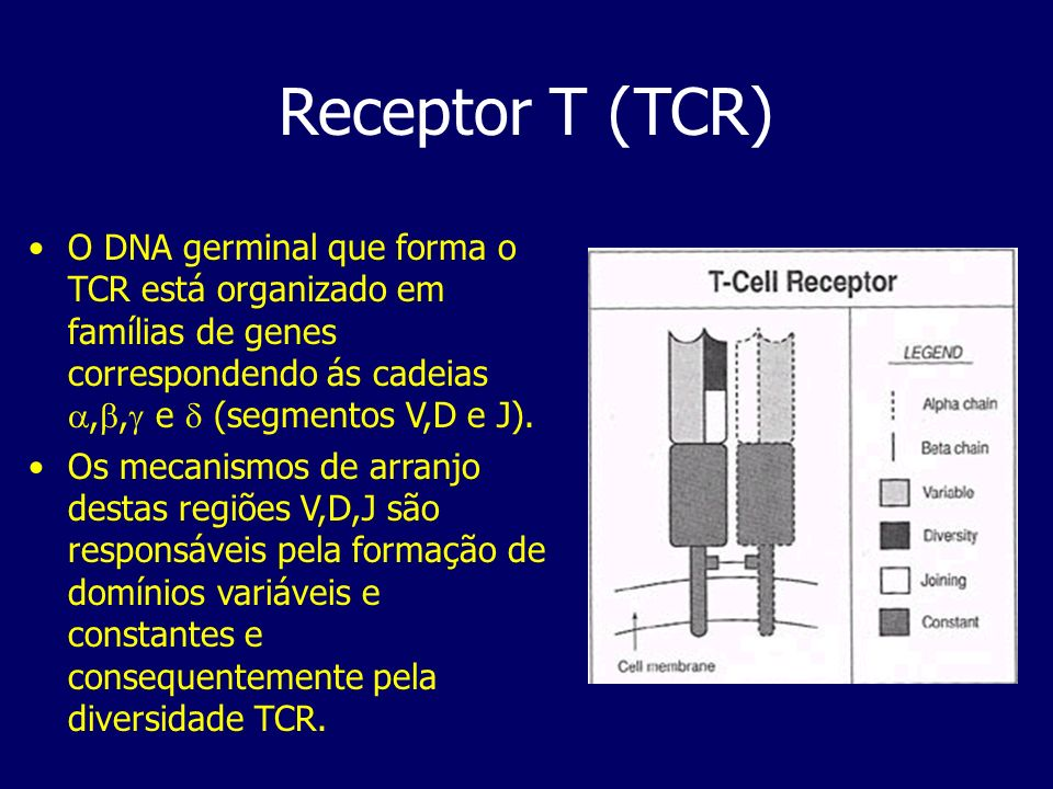 Receptor T (TCR) O DNA germinal que forma o TCR está organizado em famílias de genes correspondendo ás cadeias ,, e  (segmentos V,D e J).