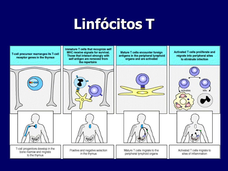 Linfócitos T