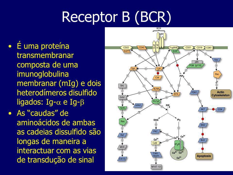 Receptor B (BCR) É uma proteína transmembranar composta de uma imunoglobulina membranar (mIg) e dois heterodímeros disulfido ligados: Ig- e Ig-