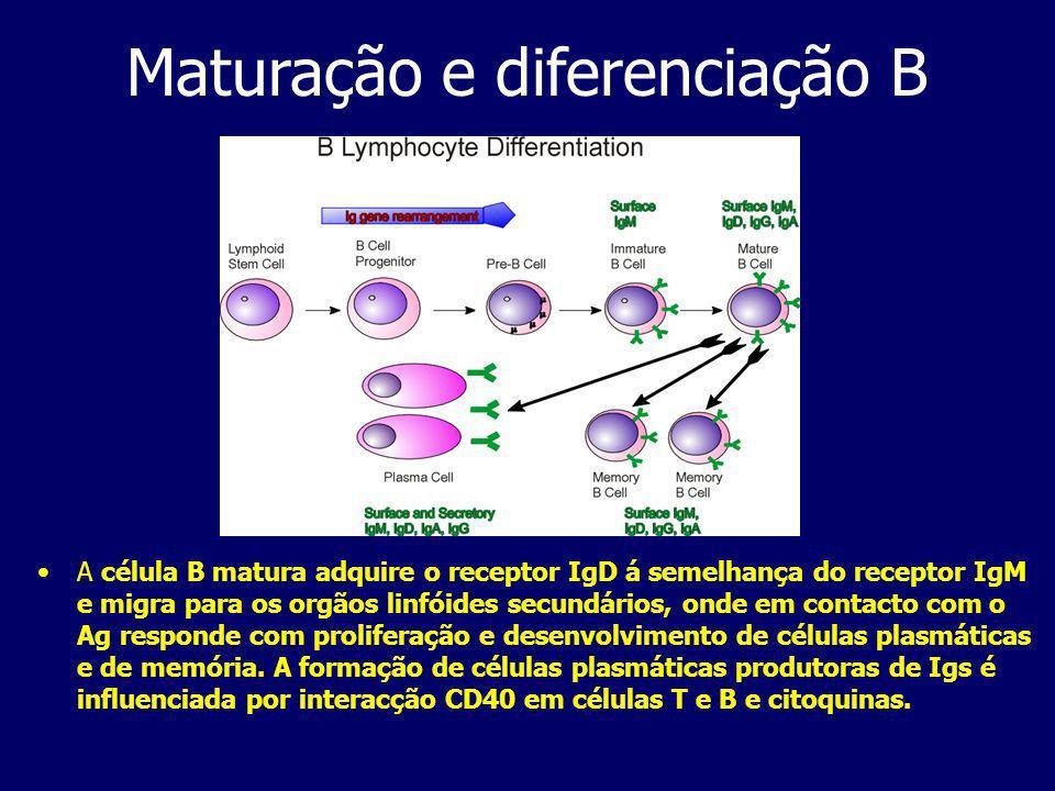 Maturação e diferenciação B