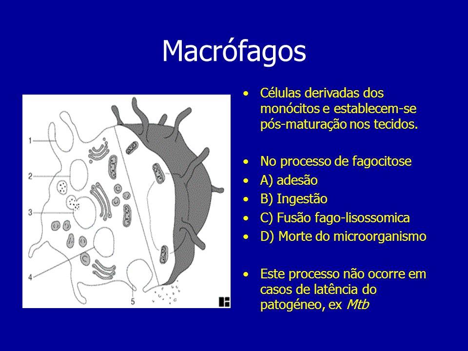 Macrófagos Células derivadas dos monócitos e establecem-se pós-maturação nos tecidos. No processo de fagocitose.