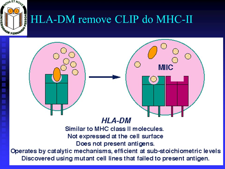 HLA-DM remove CLIP do MHC-II