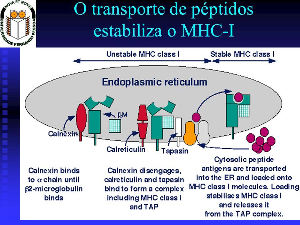 O transporte de péptidos estabiliza o MHC-I
