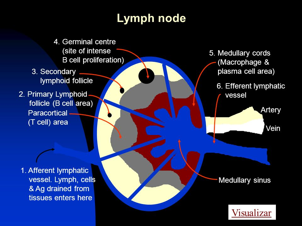 Lymph node Visualizar 4. Germinal centre (site of intense