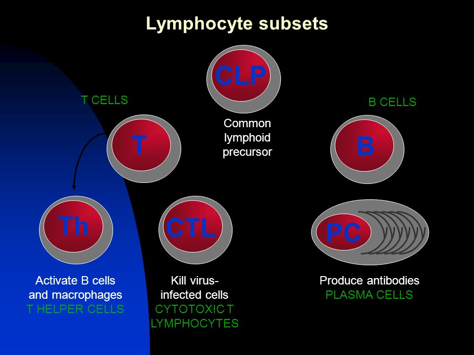CLP T B Th CTL PC Lymphocyte subsets Common lymphoid precursor T CELLS