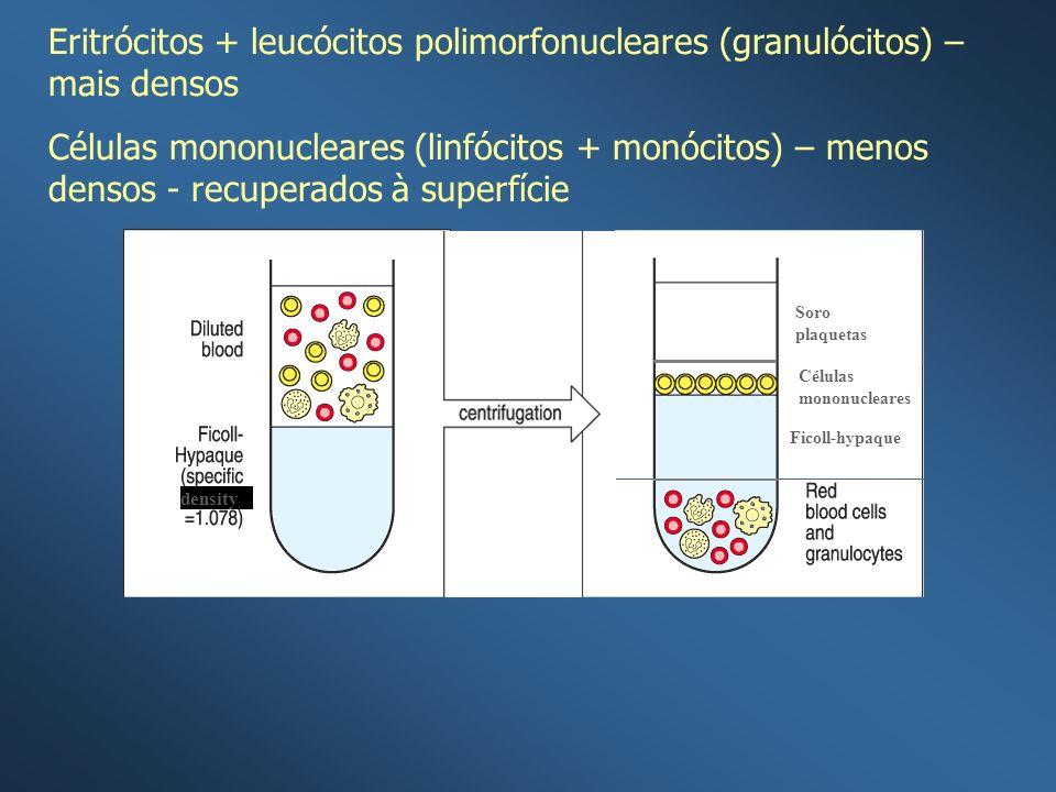 Eritrócitos + leucócitos polimorfonucleares (granulócitos) – mais densos
