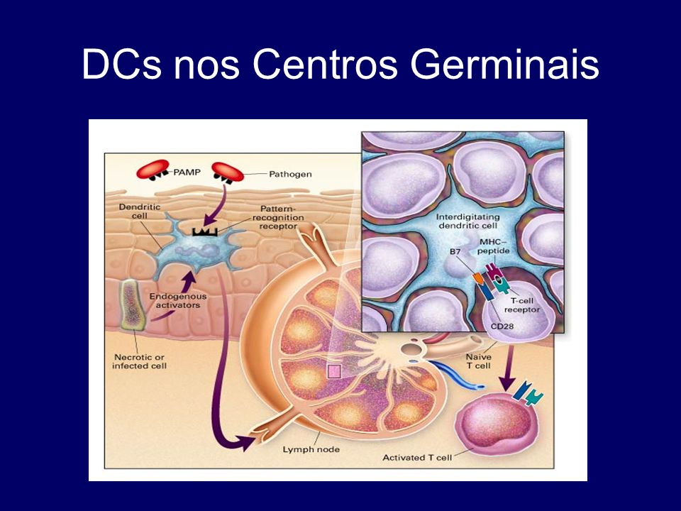 DCs nos Centros Germinais