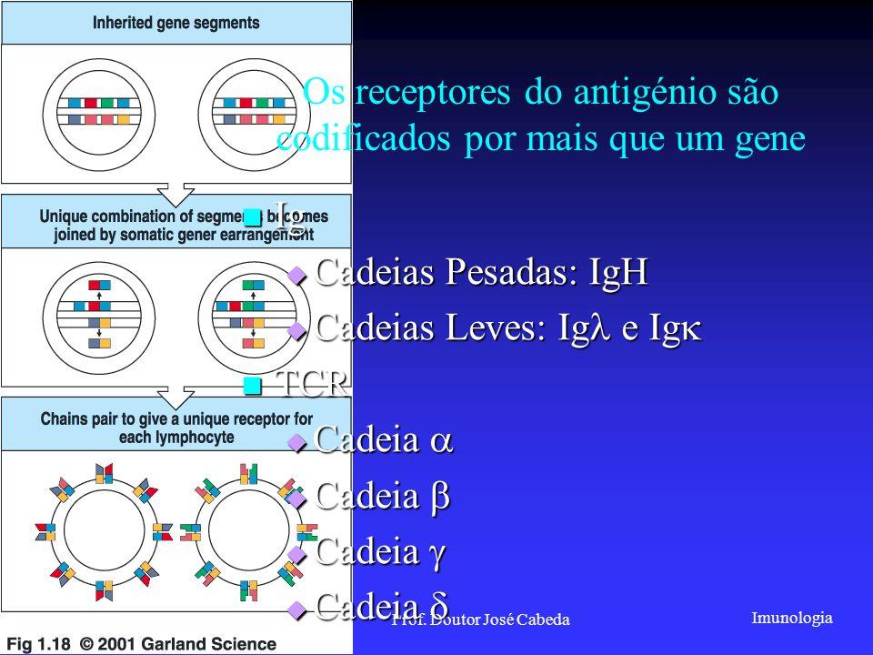 Os receptores do antigénio são codificados por mais que um gene