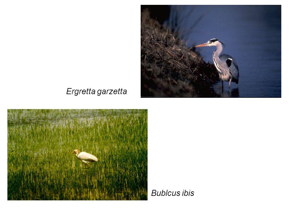 Ergretta garzetta Bublcus ibis
