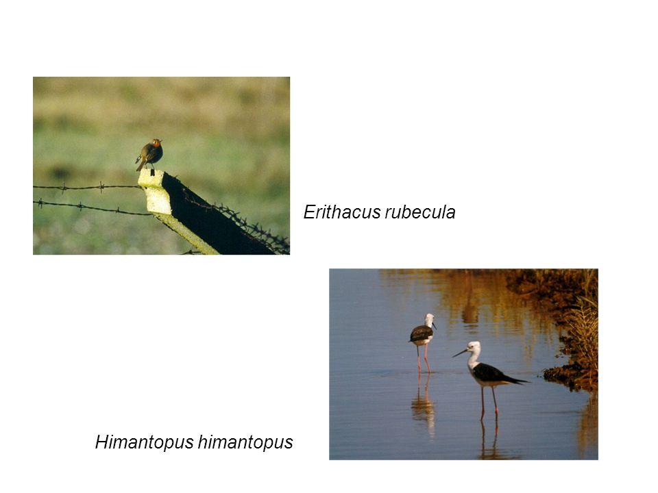 Erithacus rubecula Himantopus himantopus