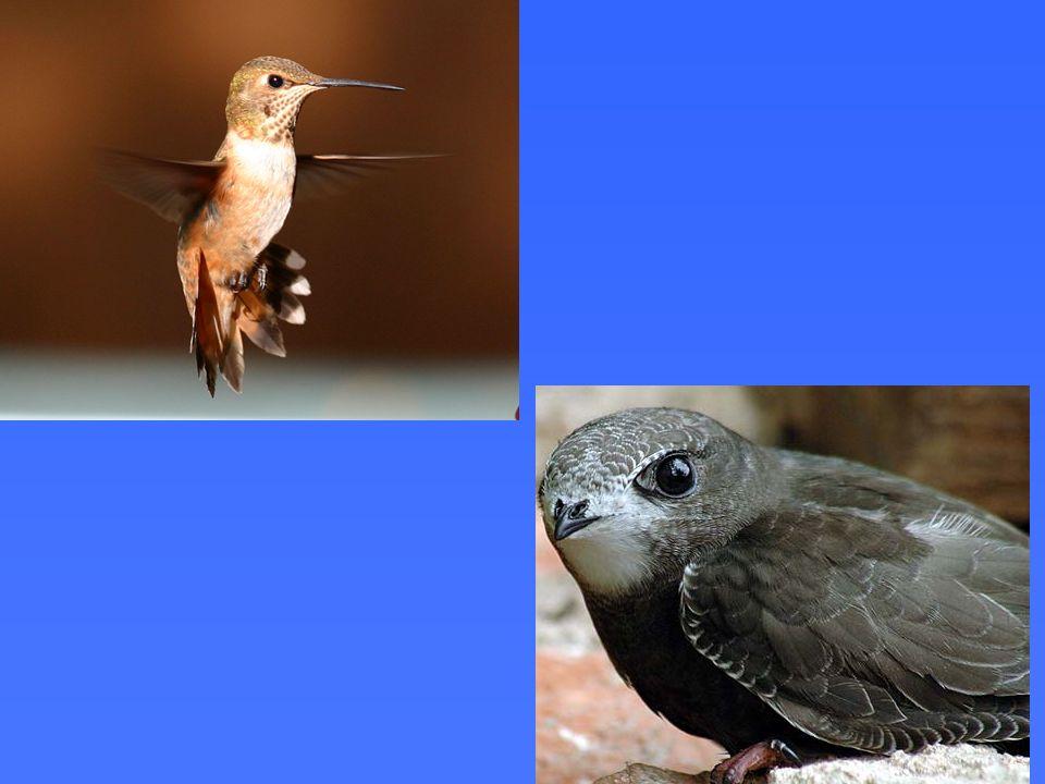 Essas duas espécies de aves , o beija-flor e o andorinhão, são aparentadas.