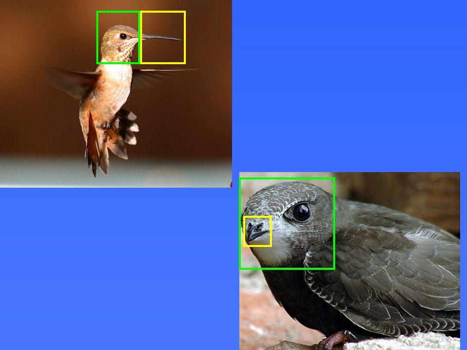 O bico do beija-flor é muito maior comparado ao tamanho de sua cabeça do que o do andorinhão.