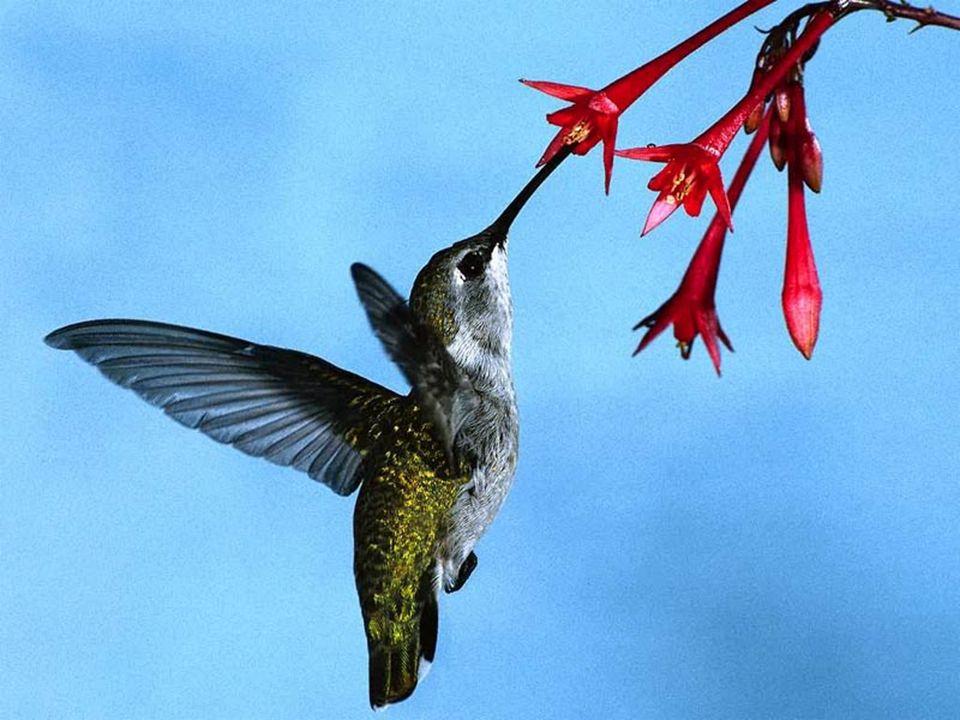 No caso do beija-flor, é provável que o bico longo e fino esteja associado ao seu hábito alimentar: consumir néctar de flores com formato de tubo.