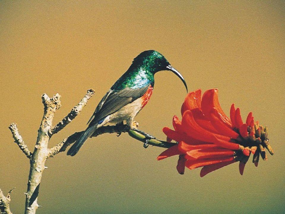 Sim.Esta pequena ave africana não tem nenhum parentesco com o beija-flor.
