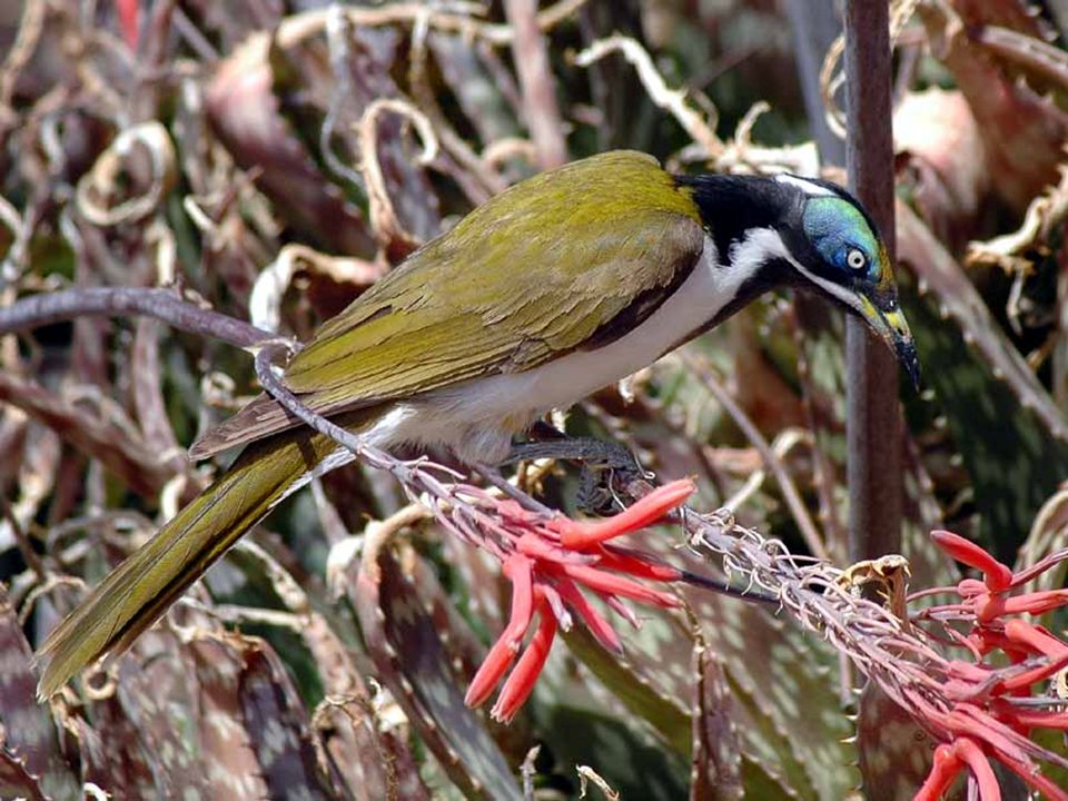 De forma similar, na Austrália, um outro grupo de aves apresenta bicos finos e longos e consome néctar das flores.