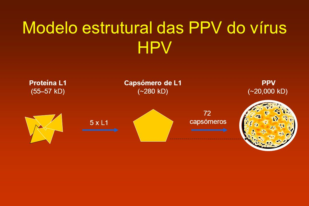 Modelo estrutural das PPV do vírus HPV