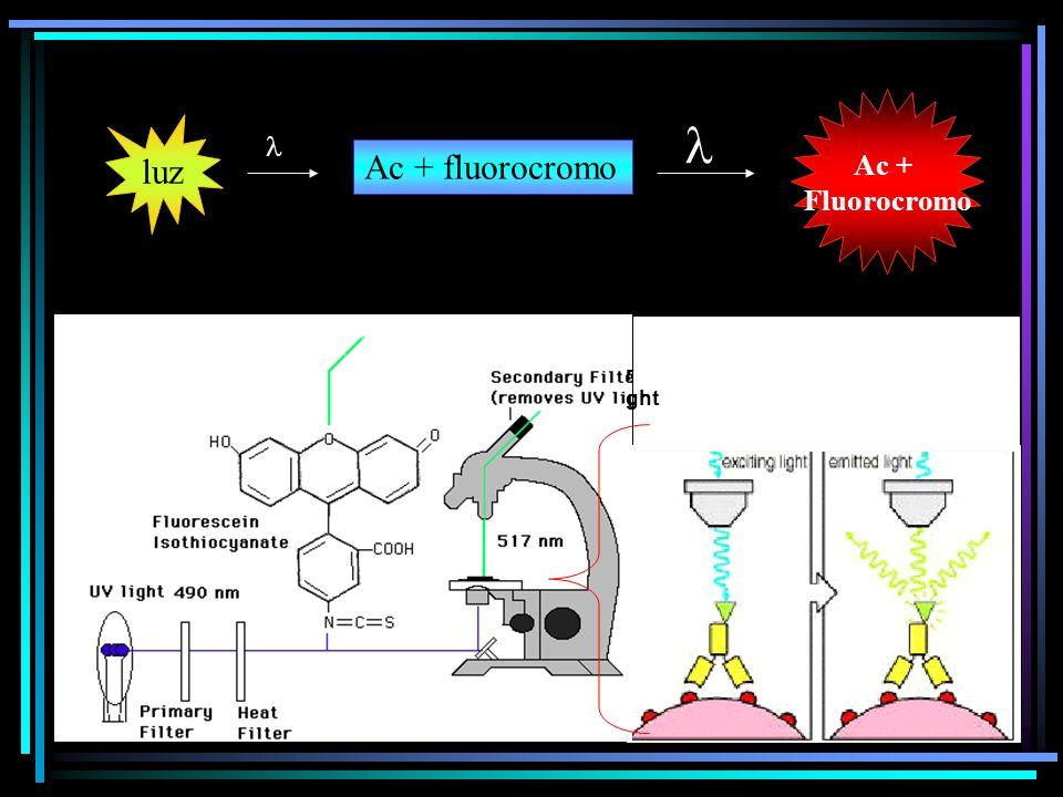 Ac + Fluorocromo  luz  Ac + fluorocromo r ght