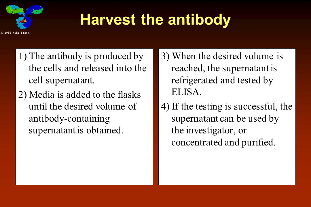 Harvest the antibody 1) The antibody is produced by the cells and released into the cell supernatant.