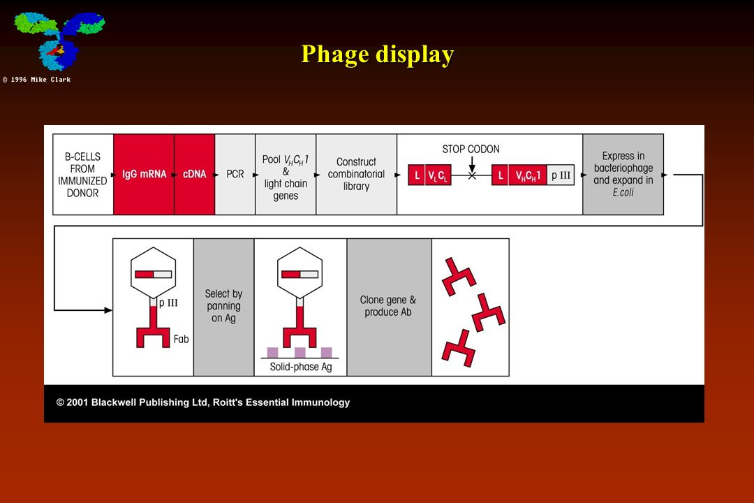 Phage display