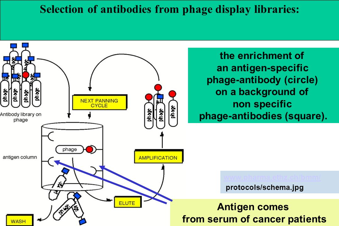 Selection of antibodies from phage display libraries: