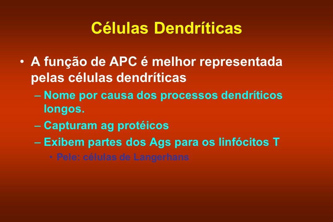 Células Dendríticas A função de APC é melhor representada pelas células dendríticas. Nome por causa dos processos dendríticos longos.